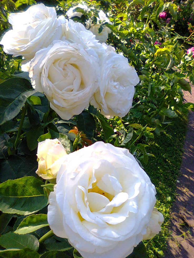 "Gorgeous White Roses ""Fryderyk Chopin"" Favorite White Flowers , Beautiful Flowers - Warsaw , Poland"