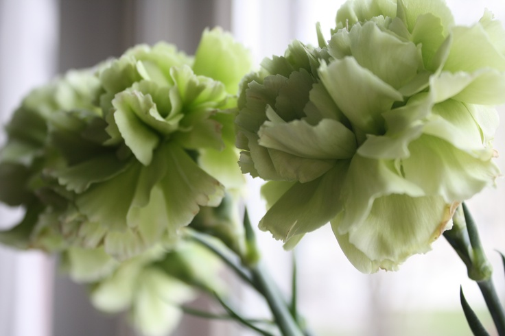 Carnations!