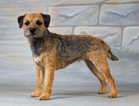 Груминг бордер-терьера: стрижка и уход за шерстью бордер-терьера | Породы собак | Royal-groom