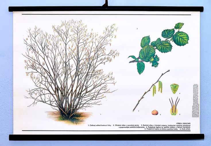 Vintage school antique poster chart original botanical wall art Hazel tree #KomeniumPraha