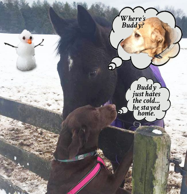"""Dixie spent the day at the horse farm and since it snowed the night before, she was double excited to run and play.  Her friend Rocky asked her """"Where's Buddy?""""  """"Oh, he hates the cold anymore,"""" Dixie explained.  """"He stayed home.  I tried to make a snowman, but it's just not the same without Buddy... he is the best snowman-maker I know.""""  """"Too bad,"""" said Rocky, """"I miss ole' Buddy.""""  Dixie ran and ran in the snow until it was time to go.  She was so exhausted she slept the whole ride home."""