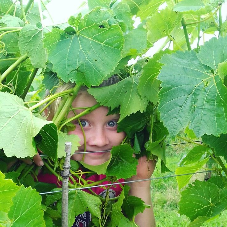 Playing hide and seek at Yorkshire Heart Vineyard.