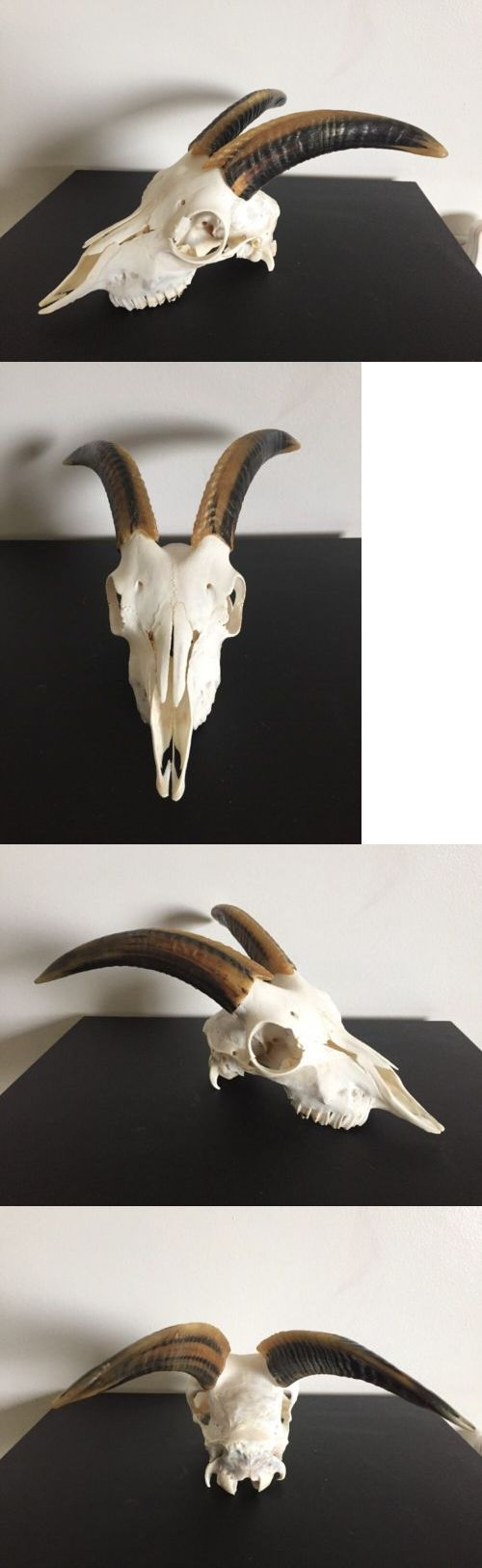 Other Taxidermy 22702: Goat Skull/ Horns/Antlers / Hunting/Taxidermy/Southwestern Decor/ Magic BUY IT NOW ONLY: $30.0