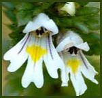 Euphrasia, Homeopathic Remedy for eye problems with Radu...)//_-Veterinary Materia Medica
