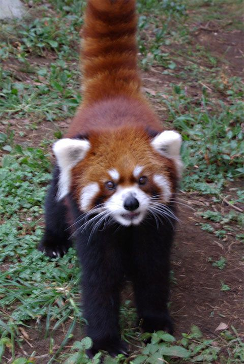 Red Panda says hello!