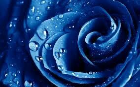 Wild blue rose
