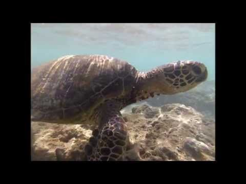 ▶ Hawaiian green sea turtle Hanauma bay Hawaii GoPro Hero 3 Silver Edition Snorkel dive xshot - YouTube