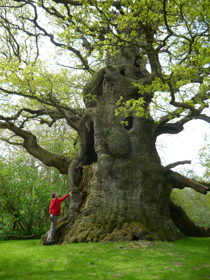 Fredville Oak, Nonnington, Kent