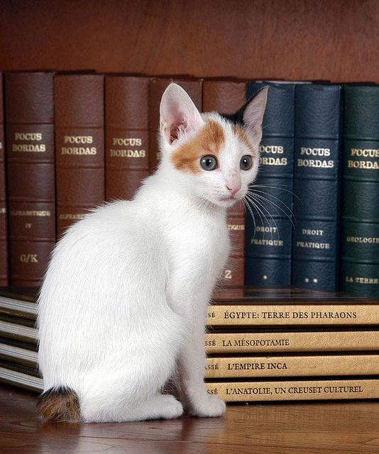 japanese bobtail... teheh this is what Niko is going to look like!