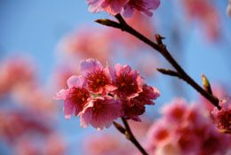 Meaning of Cherry Blossom
