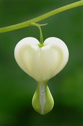 coeur de Salomon