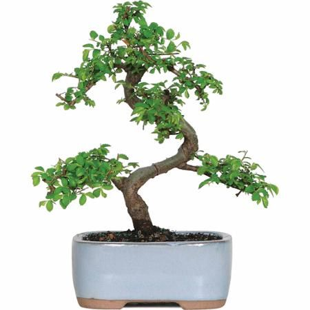 9 best Bonsai interior images on Pinterest | Bonsai, Bonsai trees ...
