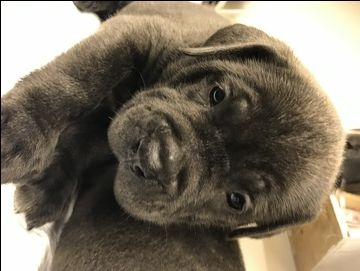 Litter of 9 Cane Corso puppies for sale in CANYON COUNTRY, CA. ADN-39668 on PuppyFinder.com Gender: Male(s) and Female(s). Age: 8 Weeks Old