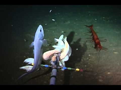 "Unexpected Life Found In The Ocean's Deepest Trench ""the deepest living fish ever recorded"""