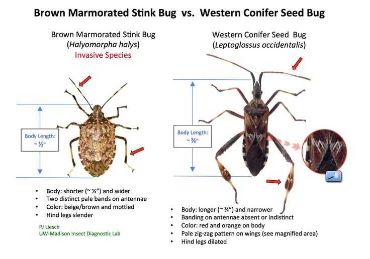 Brown Marmorated Stink Bug (invasive) vs. Western Conifer Seed Bug