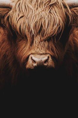 Fredrik Gustafsson - Like a Boss, hairy cow photograph, animal portrait