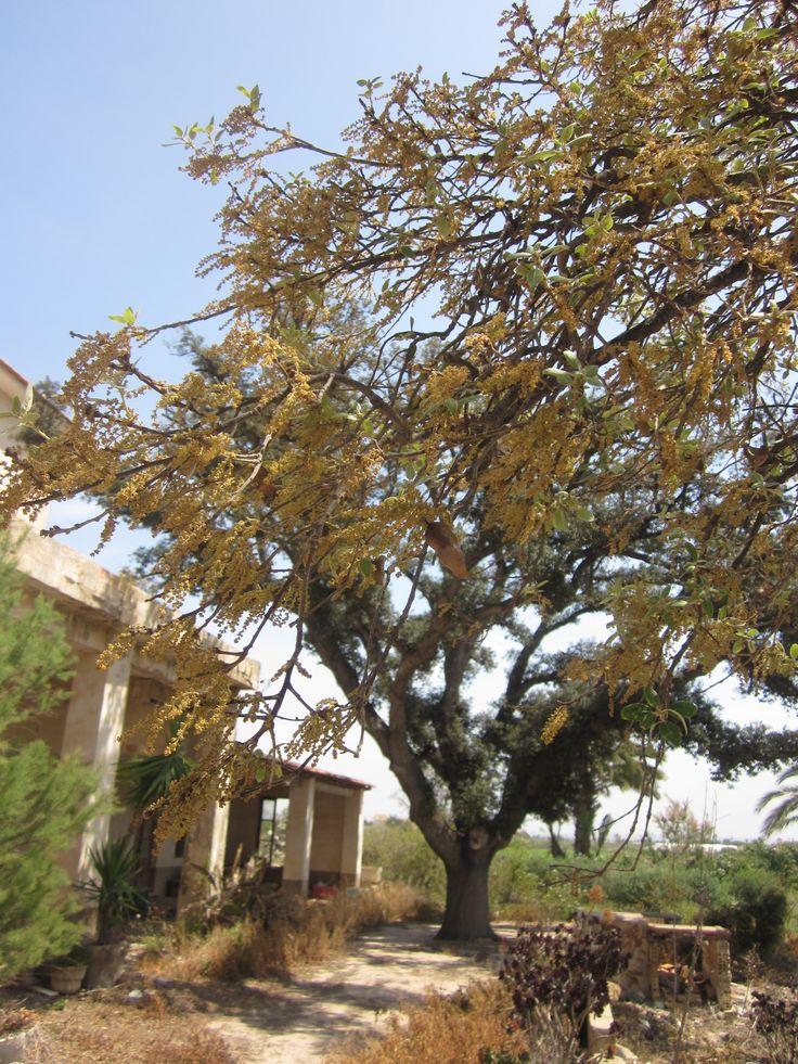 Carrasca (encina autóctona), con sus doradas inflorescencias primaverales a finales de Abril. Ejemplar centenario, ubicado en la pedanía rural ilicitana de Asprillas.