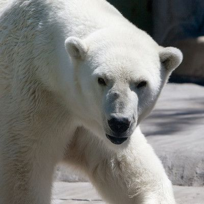 What hunting tactics do polar bears use to surprise a seal? They approach diving.