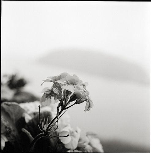 Flor -  La Corota