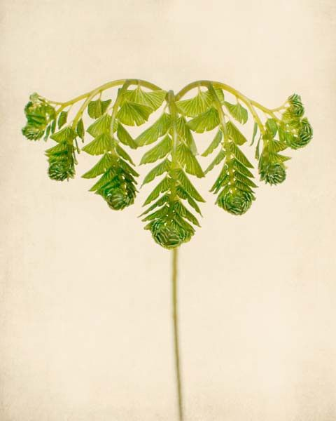 Fine art botanical print of a maidenhair fern unfurling by Allison Trentelman.