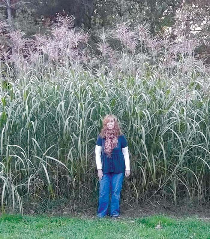 growing up to 14 tall miscanthus giganteus grass works well as a living privacy screen for. Black Bedroom Furniture Sets. Home Design Ideas
