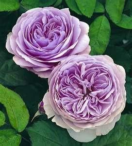 Beautiful! David Austin English Rose - Geoff Hamilton  Susan Price via Ivan Dimitrijevic onto favorite flowers
