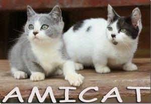 Filhotes Toy Cat Kitten mini gatos pata curta Pronta Entrega Gatil Petclube Gato Amicat SP Comprar Gato de Raça Contrato Compra Venda Castrados Vacinados