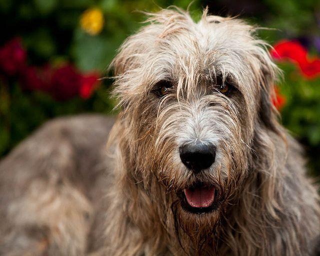 L'Irish Wolfhound F070a0c48b59b9c2b73061737d0d9ab7