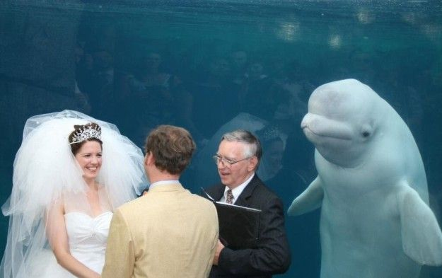 A couple recently got married at the Mystic Aquarium in Mystic, Connecticut — and had a surprise guest. This beluga whale popped up in their wedding photos. | A Couple Got Upstaged At Their Own Damn Wedding And Became An Instant Meme