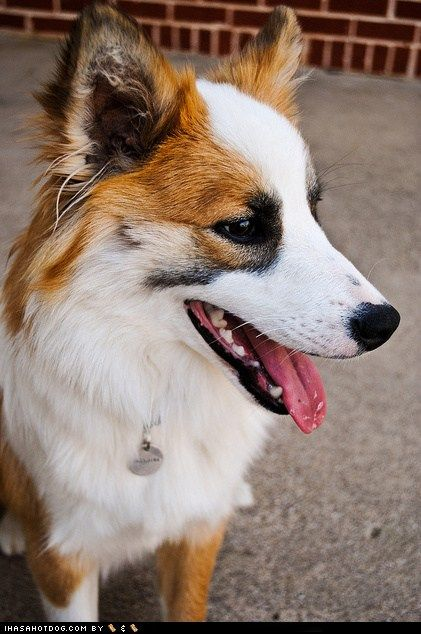 Icelandic Sheepdog Westminster 157 best images about ...