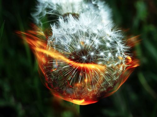 burning dandelions prevents seeds from spreading and so entertaining