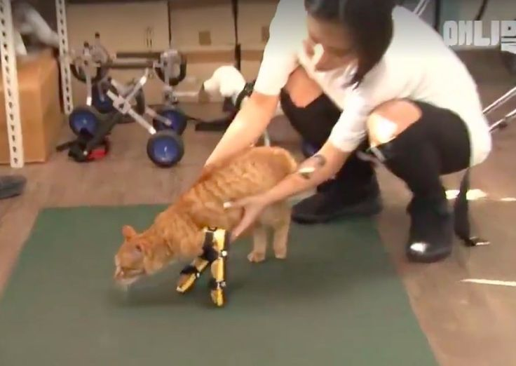A orange tabby was spotted on the streets of South Korea wandering around on his front elbows. Despite his deformity, nothing can slow him down.   Facebook/Global cat network The orange cat has a condition called radial hypoplasia which means the radius bone in his arms is short or missing, hen...