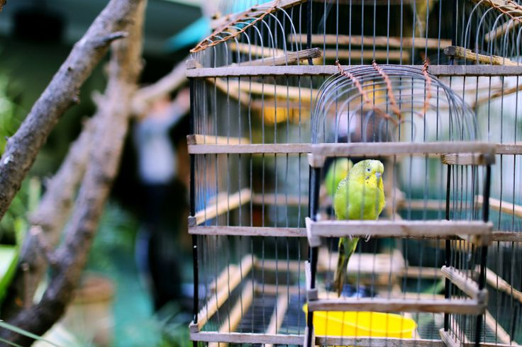 Periquito en jaula Caged Parakeet