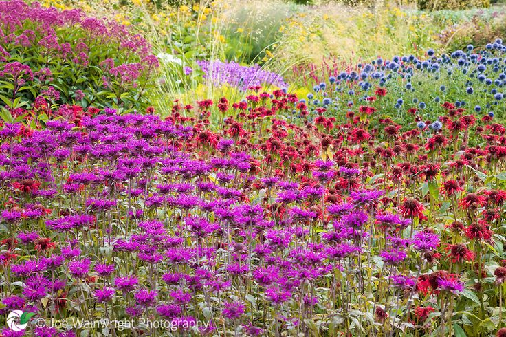 Waves of herbaceous planting, including monarda and echinops, in the Floral Labyrinth at Trentham Gardens, Staffordshire.