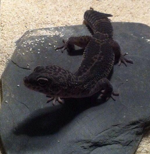 43 best Leopard Gecko Breeding Animals images on Pinterest ... - photo#6