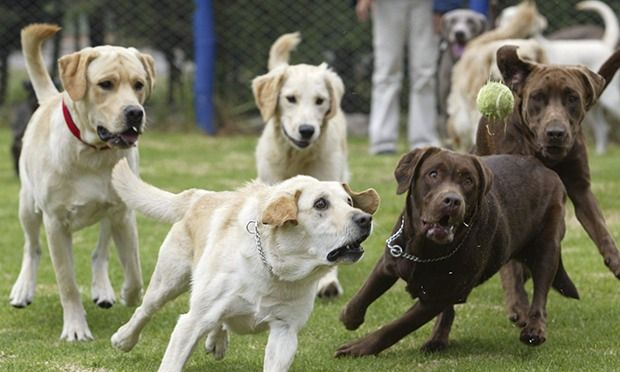 Dogs communicate different feelings with right or leftward tail wagging
