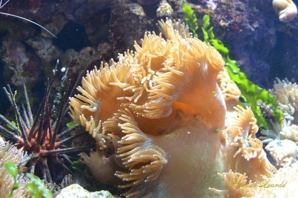 Elegance Coral, Catalaphyllia Jardinei, Summer 2013, ZSL London Zoo, London, United Kingdom.