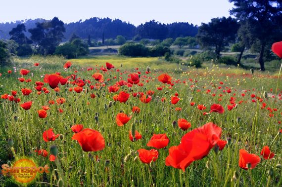 landscape full of poppies,Fine Art Photography,home decor,travel photography,