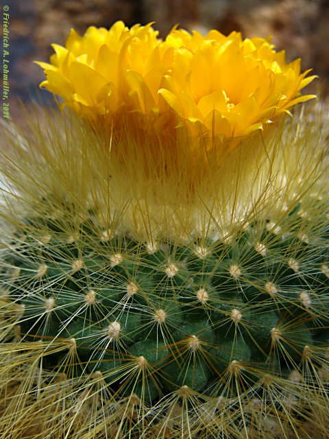 cactus flower , the true yellow rose of Texas, Means enduring hard times