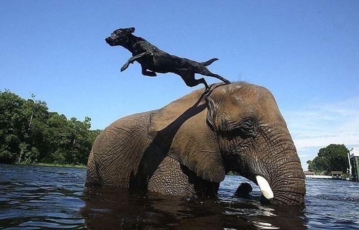 """Лучшие друзья - собака и слон  Это вам не """"Слон и Моська"""" - здесь все по-серьезному. Никто ни на кого не лает, никто не спорит, никаких ссор и раздражения. Только дружба, светлые чувства и море позитива. Странно, но факт: черный пес и огромный слон стали лучшими друзьями. Они вместе гуляют, вместе играют, вместе купаются, вместе обсыхают, и вообще не разлей вода. Вот такая необычная, но искренняя дружба!"""