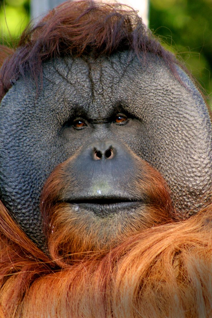 19 June is International Orang-utan Day! Sadly the lowland forest habitats of Asia's only great ape are rapidly disappearing to make way for palm oil plantations and other agricultural developments. Taronga is providing funds and support for projects working to protect vital Orang-utan habitat in Borneo and Sumatra. You can help stop the loss of Orang-utans' forest homes by choosing sustainable palm oil products at your local supermarket. Photo by Mandy Everett