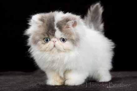 Persian cat. I want one. So I can giggle at it's little smooshed face.