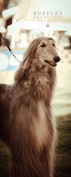 Afghan Shepherd: 296 Best Afghan Hound Beauty Images On Pinterest