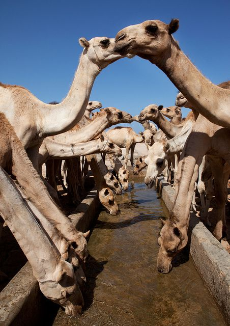 Camels sharing gossip in Woqooyi Galbeed, Somalia.