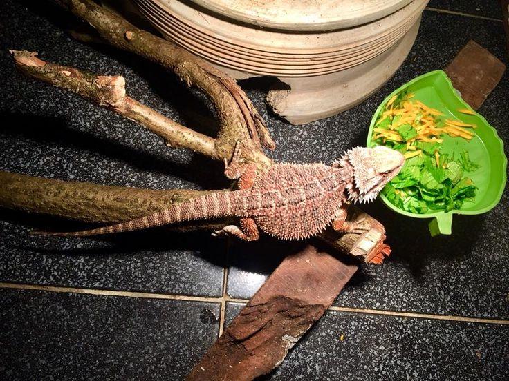 Bearded dragon eating his greens in 2020 bearded dragon