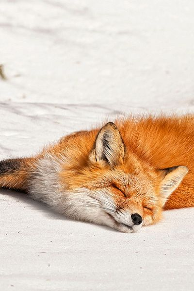 "urticazoku-foxes: ""http://www.flickr.com/photos/pics28pics/5567840175/in/photostream/ """