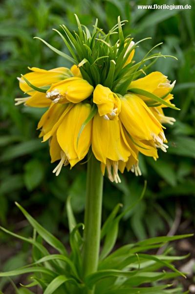 Gelbe Kaiserkrone, Fritillaria imperialis 'Lutea', http://www.florilegium.de/blog/pflanzen/blumen-im-garten/kaiserkrone-fritillaria-imperialis-ein-klassiker-im-bauerngarten.html