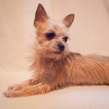 Hund, Yorkshire Terrier-Chihuahua (Mischling, Hündin, 6 Monate) in Dreieich/Hessen