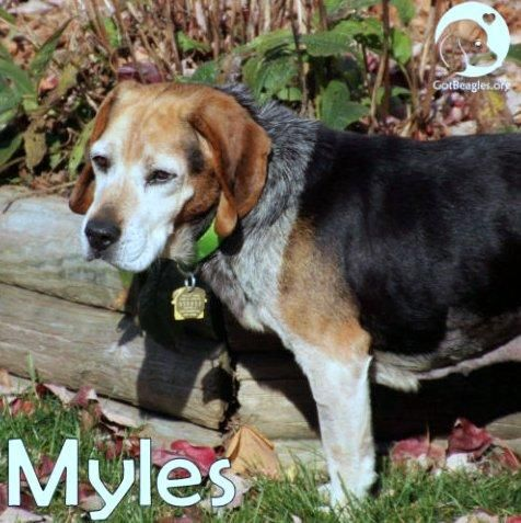 12-26-16 || #Toledo, #OH || #SENIOR || MYLES is approx 8-9 years old & as you probably know, I am looking for my furever home. My life before coming to Midwest BREW was not too happy. I was tossed from a moving vehicle & rescued by a bystander who picked me up & took me to a local vet. I am blind in one eye, but that does not hinder my cuteness and my happy attitude! || Available in all of OH, #MI, #IN, #IL, Western #PA || Contact info@gotbeagles.org