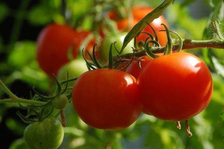 Tomaten im Garten sind einfach ein Muss! Es gibt viel gute Gründe, Tomaten im Garten anzubauen: Sie schmecken frisch geerntet einfach weitaus aromatischer, als die Ware aus dem Supermarkt. Und die Auswahl an Sorten ist viel, viel größer!